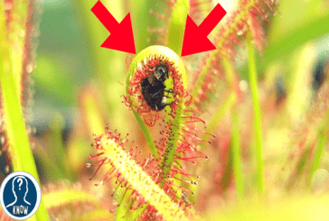 Le piante carnivore che eliminano gli insetti
